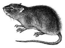 Rato ilustração do vetor