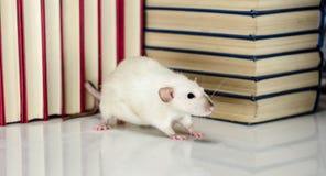rato Imagem de Stock Royalty Free
