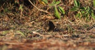 Rato africano da grama no campo filme