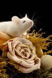 Rato branco Foto de Stock Royalty Free