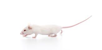 Rato branco Fotos de Stock