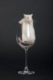 Rato branco curioso Foto de Stock Royalty Free