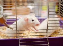 Rato branco curioso Fotografia de Stock Royalty Free