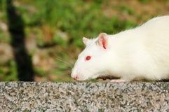 Rato branco na viagem Fotos de Stock