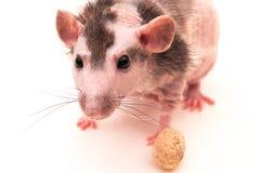 Rato calvo Fotografia de Stock