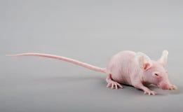 Rato calvo foto de stock