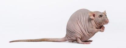 Rato calvo (2 anos velho) Foto de Stock Royalty Free