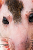 Rato calvo da esfinge fotografia de stock