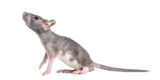 Rato calvo novo, isolado foto de stock