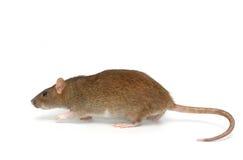 Rato cinzento Fotografia de Stock