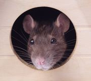 Rato cinzento foto de stock
