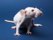 Rato com olhos vermelhos Imagens de Stock Royalty Free