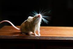 Rato com suiças contraindo-se Fotografia de Stock Royalty Free