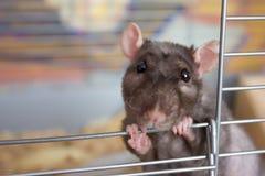 Rato consideravelmente dobro-rex imagem de stock