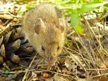 Rato da floresta Fotos de Stock