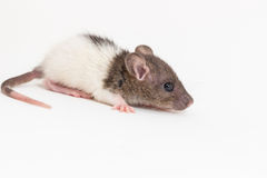 Rato de Brattleboro, rato do laboratório Imagem de Stock Royalty Free