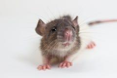 Rato de Brattleboro, rato do laboratório Foto de Stock