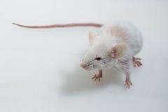Rato de Brattleboro, rato do laboratório Fotografia de Stock Royalty Free