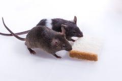 Rato de Brattleboro, rato do laboratório Fotografia de Stock