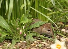 Rato de Brown Foto de Stock Royalty Free