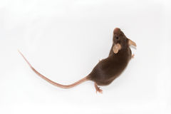 Rato de Brown em um fundo branco Fotografia de Stock