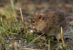 Rato de Brown (norvegicus do Rattus) Fotografia de Stock Royalty Free