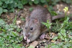 Rato de Brown selvagem Imagem de Stock Royalty Free