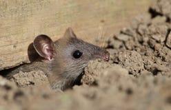 Rato de campo. Fotografia de Stock
