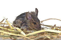 Rato de campo atado longo - rato de madeira Fotografia de Stock Royalty Free