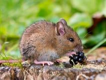 Rato de campo com fruto Imagem de Stock