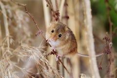 Rato de campo na grama seca longa Foto de Stock Royalty Free