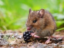 Rato de campo selvagem que come a amora-preta Fotos de Stock Royalty Free