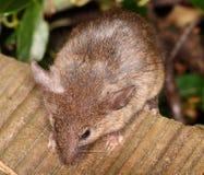 Rato de casa Fotografia de Stock