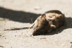 Rato de casa inoperante que encontra-se na terra Imagens de Stock