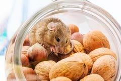 Rato de casa (musculus de Mus) na noz e no milho Imagem de Stock Royalty Free