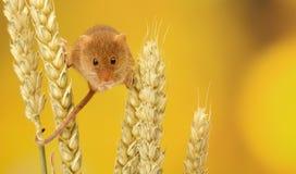 Rato de colheita Foto de Stock Royalty Free