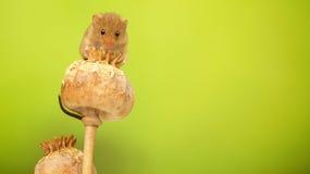 Rato de colheita Imagem de Stock