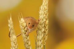 Rato de colheita Fotografia de Stock Royalty Free
