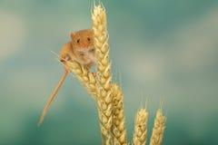 Rato de colheita Imagens de Stock