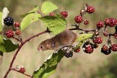 Rato de colheita, minutus de Micromys Imagem de Stock Royalty Free