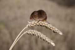 Rato de colheita, minutus de Micromys Fotos de Stock Royalty Free
