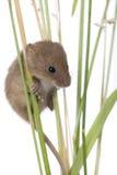 Rato de colheita na frente de um fundo branco Fotografia de Stock