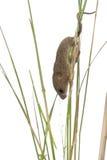 Rato de colheita na frente de um fundo branco Imagens de Stock Royalty Free