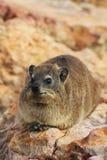 Rato de Dassie, hyrax, na rocha, Cape Town, África do Sul Imagem de Stock