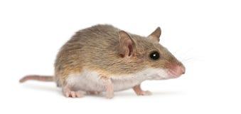 Rato de pigmeu africano - minutoides de Mus imagem de stock royalty free