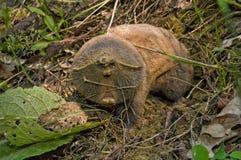 Rato de toupeira Imagens de Stock