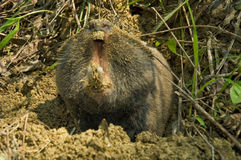 Rato de toupeira - não venha! Imagens de Stock Royalty Free
