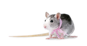 Rato decorativo com a fita cor-de-rosa isolada no branco Fotos de Stock