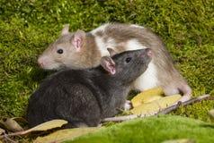 rato do animal de estimação Fotos de Stock Royalty Free