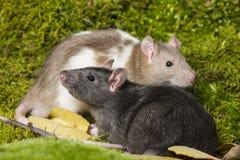 rato do animal de estimação Foto de Stock Royalty Free